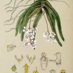 376px-Sarcochilus_fitzgeraldii_-_FitzGerald%2C_Australian_Orchids_-_vol._1_pl._19_%281882%29.jpg