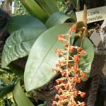 388px-Liparis_crenulata_OrchidsBln0906.jpg