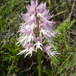 450px-Orchis_italica_a.jpg