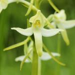 450px-Platanthera_bifolia_%28flower%29.jpg