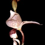 450px-Stanhopea_insignis_Orchi_001.jpg