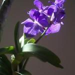 450px-Wanda_blau.jpg