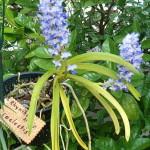 470px-Rhynchostylis_coelestis_OrchidsBln0906b.jpg