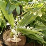 754px-Eria_javanica_OrchidsBln0906.jpg