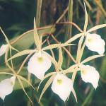 Brassavola-flagellaris.jpg