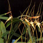 Brassia_arcuigera.jpg