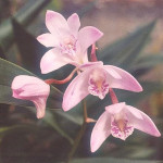 Dendrobium-kingianum.jpg