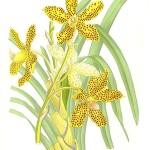 Grammatophyllum_speciosum_-_Paxton.jpg
